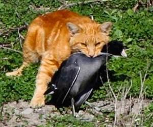 cat-coot