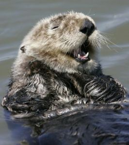 sea otter smirking