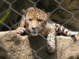 jaguar in cage