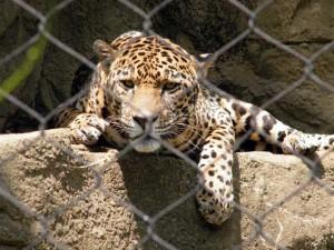 笼中的美洲虎