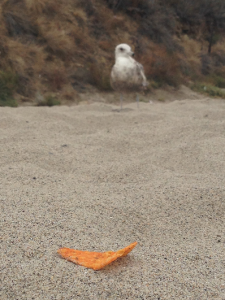 seagull  dorito shrunk