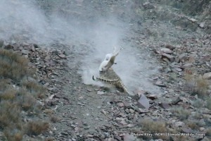 23-leopard-snow-hemis-np-india-ar-284-600x400
