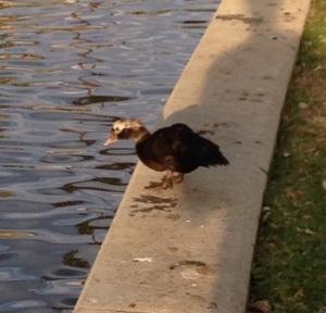 muscovy-duck