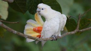 菲律宾鹦鹉