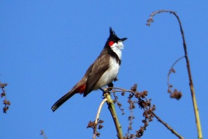 red-whiskered-bulbul pixabay public domain