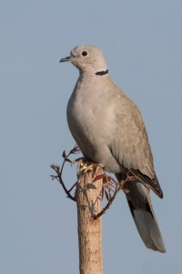 Eurasian_collared-dove_(Streptopelia_decaocto)